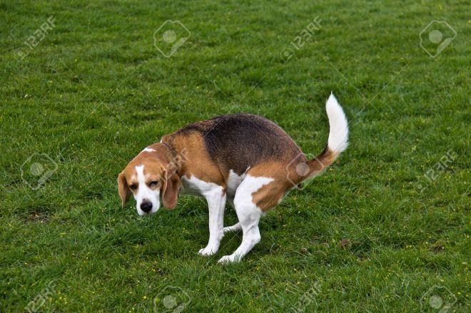 46081116-Dog-defecating-on-the-green-grass-Stock-Photo-poop